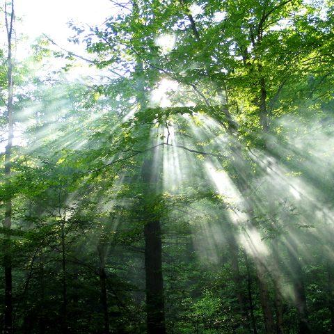 Forest_Sunlight_6571