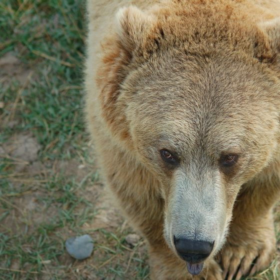 Grizzly_Bear_983364